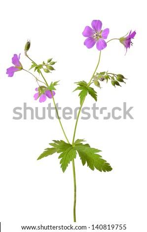Meadow geranium (Geranium pratense) flower isolated on a white background - stock photo
