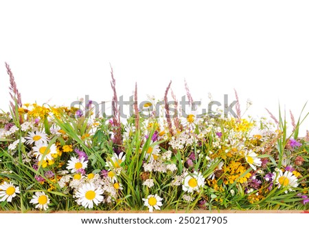 Meadow grass on a white background. Forbs.