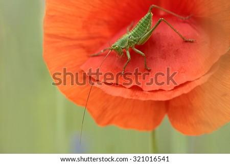 Meadow Grasshopper - stock photo
