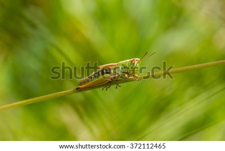 Meadow grasshopper (Chorthippus parallelus) female, in amongst the long grass.... - stock photo