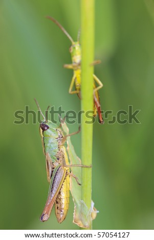 Meadow grasshopper in a green field