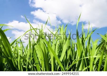 Meadow green lush grass. Closeup. A Sunny day. - stock photo