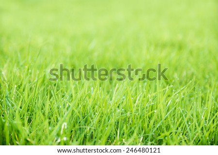 Meadow green lush grass. Closeup. Dew drops. - stock photo
