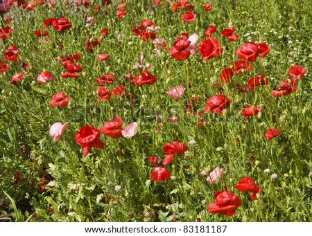 Meadow in blossom with many red poppies.