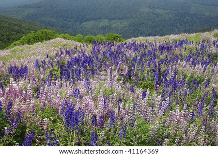 Meadow in full bloom of lupine along Bald Hill Road in Redwoods national Park, California. - stock photo