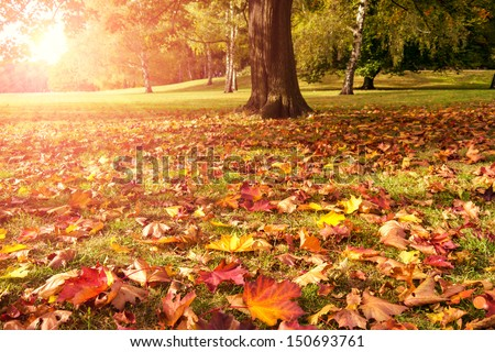 meadow, maple and sunlight in autumn - stock photo