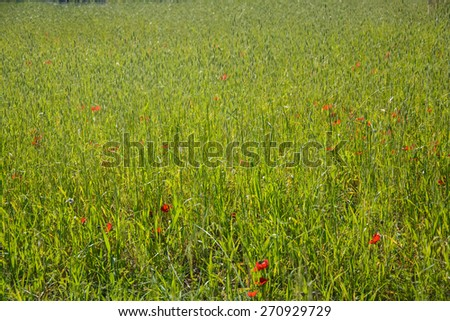 Meadow of Blooming red anemones on green grass. Natural floral background - stock photo