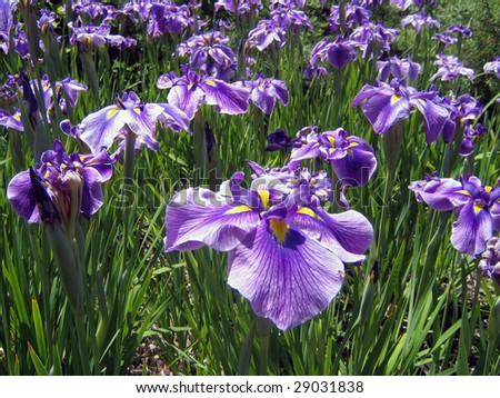 Meadow of Blue Iris Flowers on a Sunny Day - stock photo