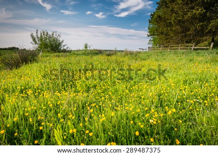 Meadow of Buttercups / Field of wild buttercups on the edge of farmland in Northumberland - stock photo