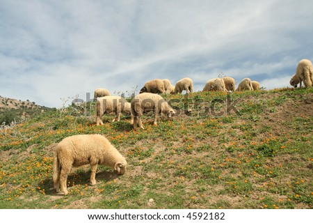 Meadow of calendulas in mountain with sheeps - stock photo