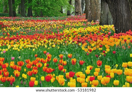 Meadow of colorful tulips in spring - stock photo