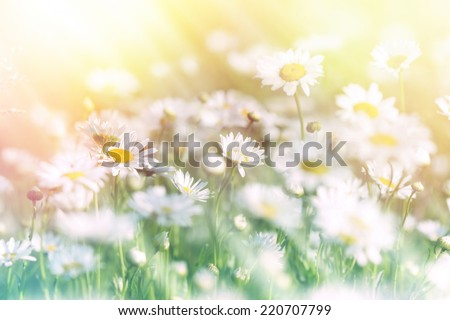 Meadow of daisy bathed in sunlight - stock photo