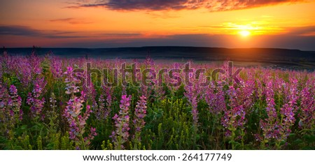 Meadow of lavender at sunset  - stock photo