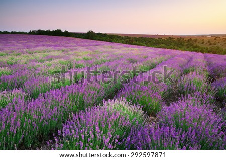 Meadow of lavender. Nature composition.