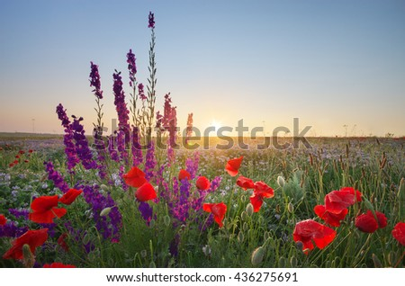 Meadow of spring poppy flowers. Natural landscape. - stock photo