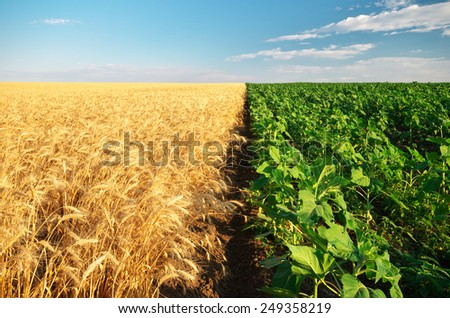 Meadow of wheat and sunflowers. Agriculture composition. - stock photo