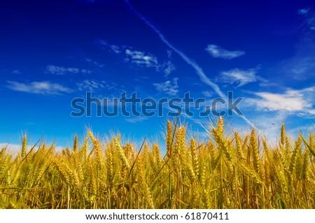 Meadow of wheat plants under a blue vivid sky - stock photo