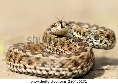 meadow viper ( Vipera ursinii rakosiensis ) ready to strike - stock photo