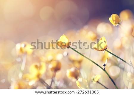 Meadow wild-growing yellow flowers - buttercups. - stock photo