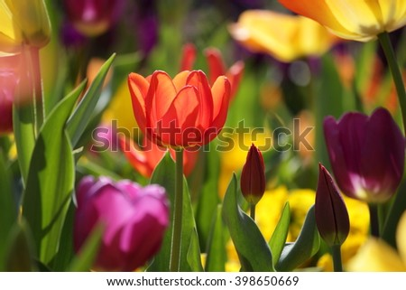 Meadow with beautiful multicolored tulips, bright sunny scene with backlight - stock photo