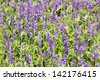 Meadow with blooming Blue Salvia herbal flowers - stock photo