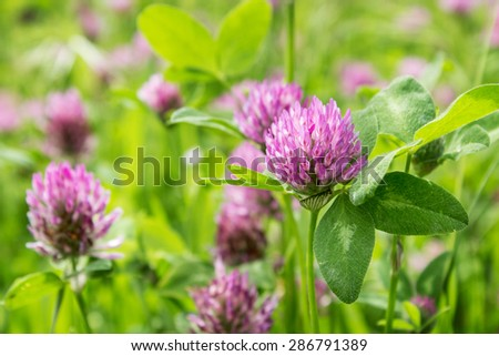 Meadow with blooming red clover / clover / Clover