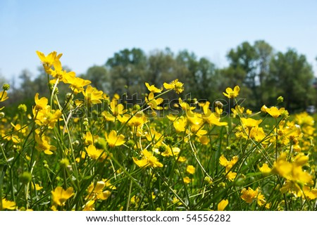 meadow with buttercup - stock photo