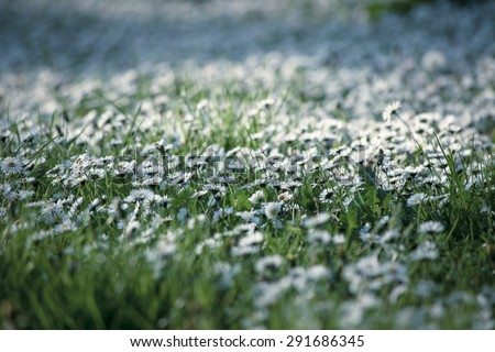 meadow with daisy selective focus - stock photo