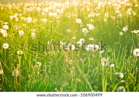 Meadow with dandelions and warm sunlight - stock photo