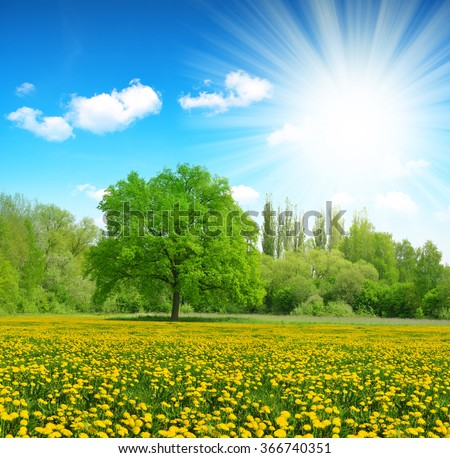 Meadow with dandelions. Spring landscape. - stock photo