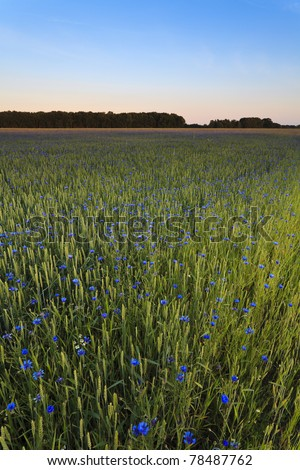 Meadow with ecological rye and cornflowers