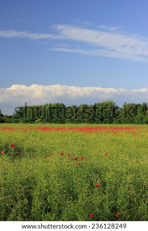 meadow with field poppy