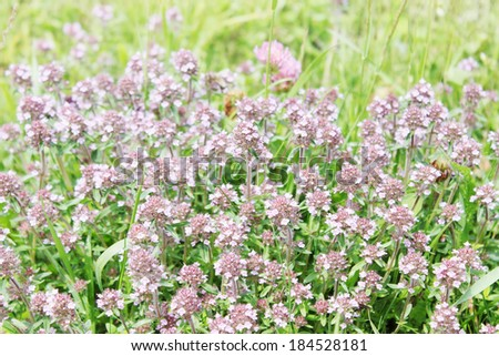 meadow with flowering thyme - stock photo