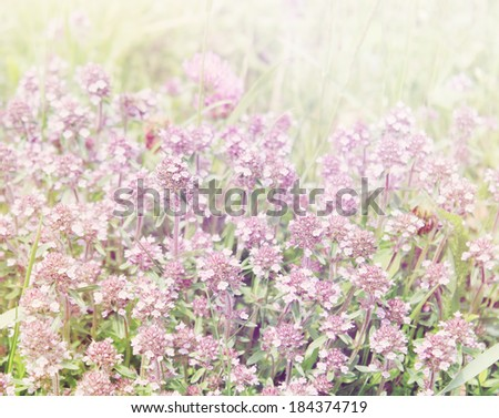 meadow with flowering thyme, tinted - stock photo