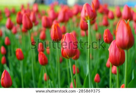 Meadow with red roses - stock photo