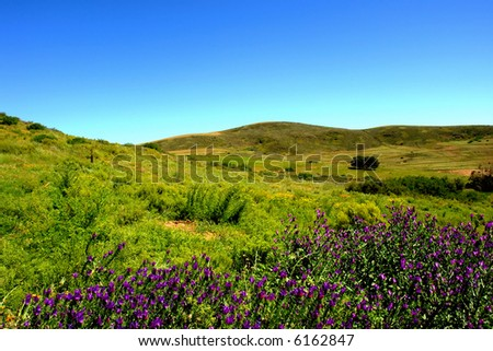 Meadow with violet flowers in mountains. Shot in Kasteelberg Mountains nature reserve, near Riebeek, Western Cape, South Africa. - stock photo