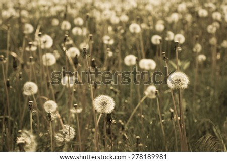 Meadow with white dandelions. Vintage style effect - stock photo