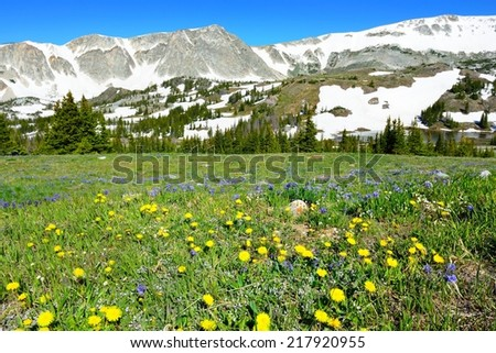 Meadow with wild flowers in Snowy Range Mountains in Medicine Bow, Wyoming in summer