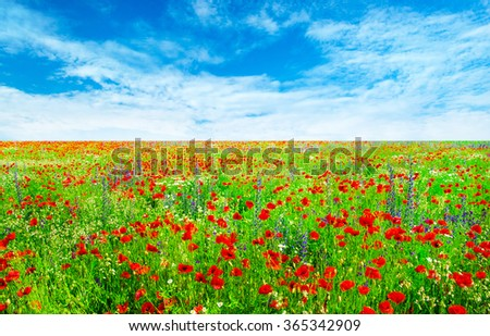 meadow with wild poppies and blue sky - stock photo