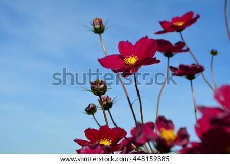 Meadow with wild red and burgundy colored flowers on a blue sky - stock photo