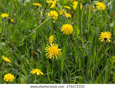 Meadow with yellow dandelions. Flowers and meadows - stock photo