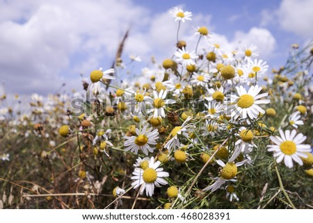 Meadows dotted with flowers with camomile
