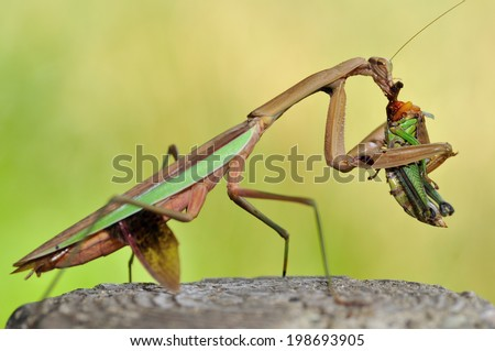 Meal of mantis