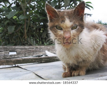 Mean evil looking stray alley cat - stock photo