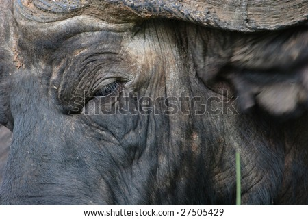 Mean look from an old, male Cape buffalo near Mt. Kenya, Africa