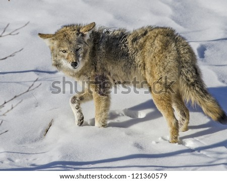Mean Looking Coyote - stock photo