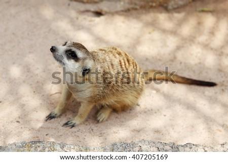 Mearcat - stock photo