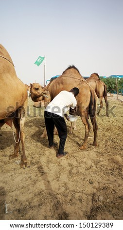 MECCA, SAUDI ARABIA - MAY 23:  Undentified person try to get camel milk.Camel milk is one of favorite healthy drink in Mecca. May 23, 2013 in Mecca. - stock photo