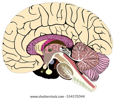 Median section human brain anatomical structure stock illustration median section of human brain anatomical structure diagram chart with all parts cerebellum thalamus hypothalamus ccuart Choice Image