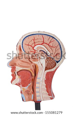 Median section of human head isolated on white - stock photo